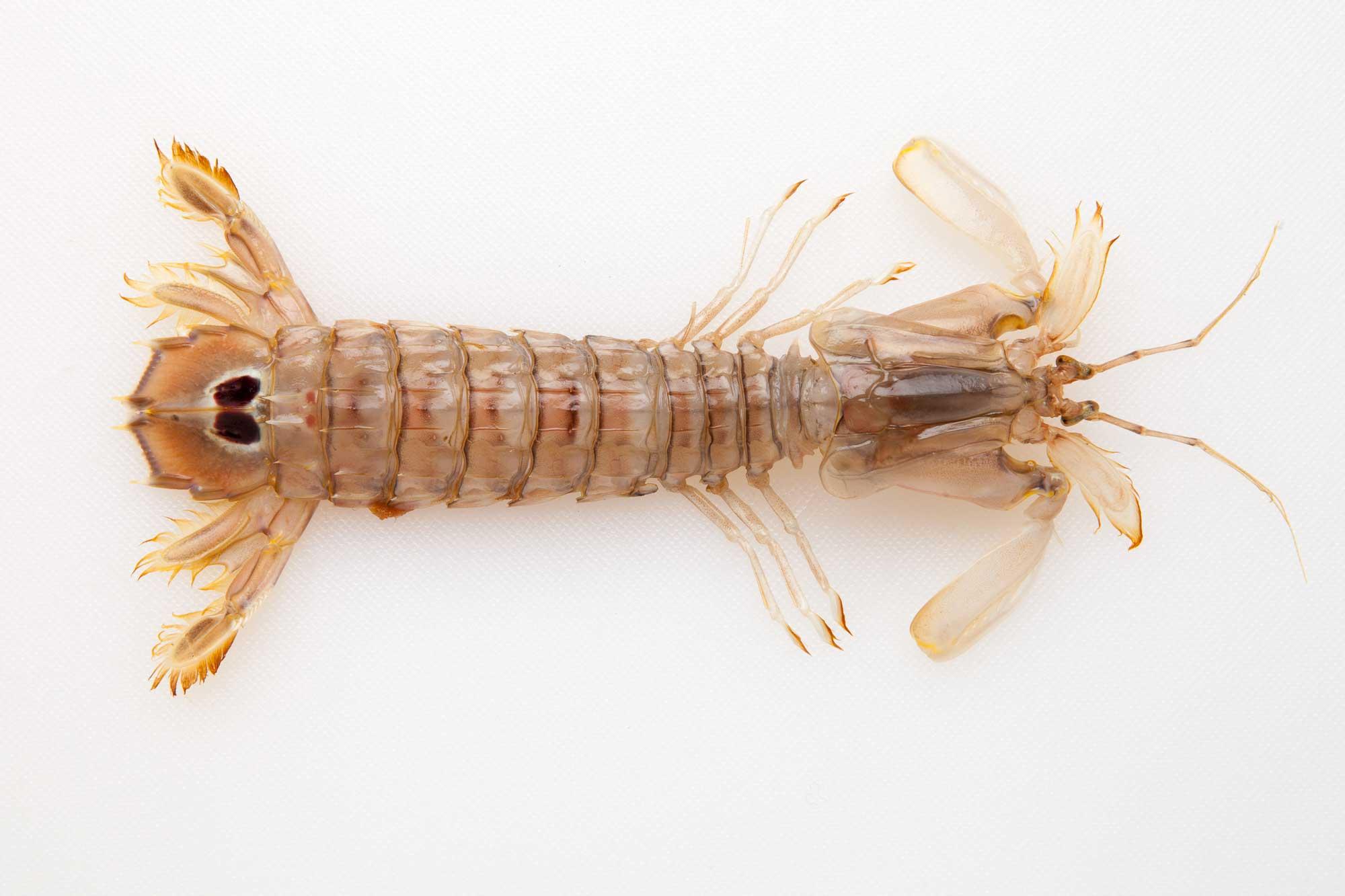 Cicala: una prelibatezza del mare
