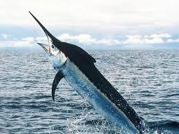 Pesce spada un eroe del mare | Marblu